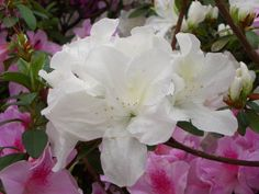 White Azalea Flower with beautiful pink azalea peaking out from behind.