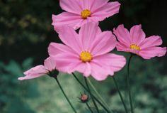 The soft pink cosmos from garden. Cosmos, Castle, Bloom, Garden, Plants, Pink, Beautiful, Garten, Universe