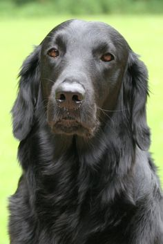 Flat-Coated Retriever OR CAMROY'S PLACE