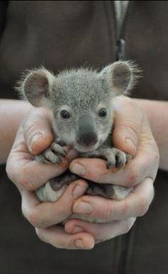 Baby Koala , from Iryna