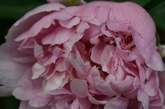 Peonies are an easy-care perennial with a long history in northern gardens. In the right conditions, they put on annual show of blooms that is spectacular.