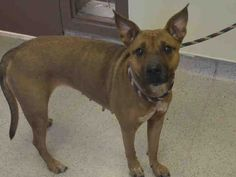 SAFE 9-25-2015 --- Manhattan Center WITHERSPOON – A1051578  FEMALE, BROWN / BLACK, AMERICAN STAFF MIX, 2 yrs STRAY – STRAY WAIT, NO HOLD Reason STRAY Intake condition EXAM REQ Intake Date 09/15/2015