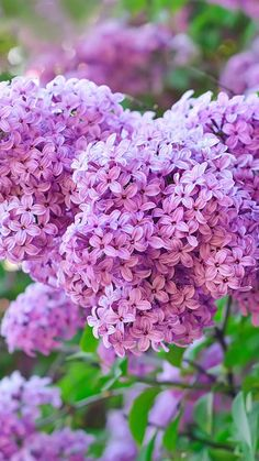 Lilacs, remind me of my childhood in Minnesota