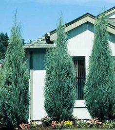 This thin columnar Juniper fits into very difficult places such as narrow side yards between homes. A super windbreak plant in both cold or hot climates. A hardy alternative to Italian Cypress in Mediterranean-inspired landscapes. Evergreen Shrubs, Trees And Shrubs, Evergreen Garden, Evergreen Trees Landscaping, Windbreak Trees, Boxwood Garden, Blue Point Juniper, Blue Arrow Juniper, Mixed Border