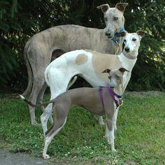 Greyhound, whippet, Italian greyhound!! The greyhound looks a lot like my dog Hazel!!