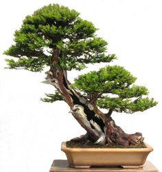 UK Bonsai .. Graham Potter.