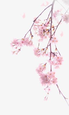 A cherry blossom, Cherry Blossoms, Cherry Material, Pink Cherry Blossoms PNG Image Iphone Wallpaper Sky, Pink Wallpaper, Flower Wallpaper, Wallpaper Backgrounds, Cherry Blossom Wallpaper, Cherry Blossom Painting, Cherry Flower, Cherry Blossoms, Galaxy Painting