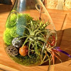 Teardrop Air Plant and Moss Terrarium