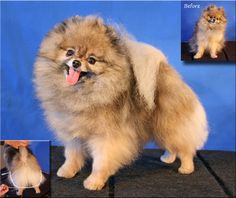 1000+ images about grooming spitz on Pinterest | Pomeranians, Dog grooming and Pomeranian haircut