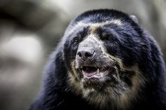 Turbo the Andean bear at the San Diego Zoo; a visitor favorite.
