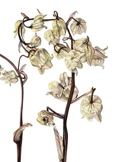 Lillies of the Valley (dried)
