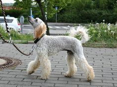 My experimental cuts - Poodle Forum - Standard Poodle, Toy Poodle, Miniature Poodle Forum ALL Poodle owners too!