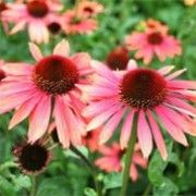 Echinacea 'Sundown' (Coneflower 'Sundown')