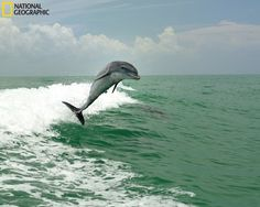 Dolphins playing in emerald green waters off Sanibel Island. (Photo and caption Courtesy Robert Kimbrell/ National Geographic Your Shot)