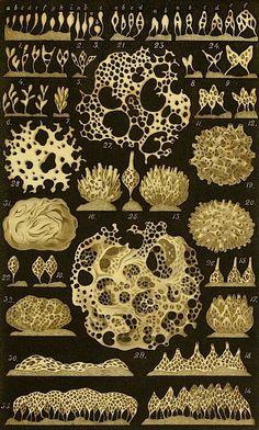 Ascetta coriacea from Die Kalkschwämme, a monograph by Ernst Haeckel, published by G. Reimer, Berlin, 1872. (Marine sponges?)