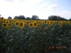 Sunflowers in the fields around Le Moulin in summer.