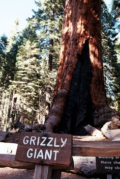 Grizzly Giant | Mariposa Grove | Yosemite National Park