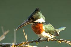 Amazon Kingfisher (Chloroceryle amazon) Male Costa Rica by Peet van Schalkwyk