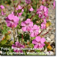 geranium sanguineum 39 apfelbl te 39 garten blut storchschnabel bild 2 work pinterest shops. Black Bedroom Furniture Sets. Home Design Ideas