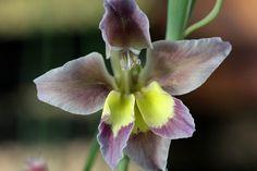 Gladiolus arcuatus - Flickr - Photo Sharing!