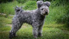 pumi-dog (1920×1077)