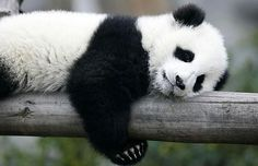 Now the researchers are planning a follow-up study combining different scientific techniques to more fully understand the function of the panda's gut ...