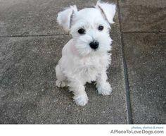 cute little white schnauzer!