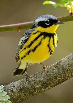 Magnolia Warbler (Setophaga magnolia). A migratory songbird breeding in Canada and the northernmost US.