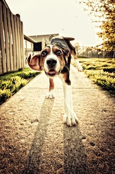 Hound Dogs Running I Love Dogs, Puppy Love, Cute Dogs, Awesome Dogs, Aggressive Animals, Dog Activities, Dog Runs, Like Animals, Hound Dog