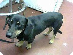 Dachshund Mix Dog for adoption in Atlanta, Georgia - MS. BEEFY