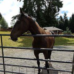 Sarah's new horse is Uber cute! #horse #horses #horseoftheday #horsesofinstagram #instahorse #instagramhorses #instapet #petsofinstagram #petoftheday #instagrampets #equestrian #equestrianlife #horsebackriding #horseriding #horselessons #horsetraining