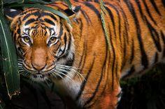 Tigress by Jonathan Truong