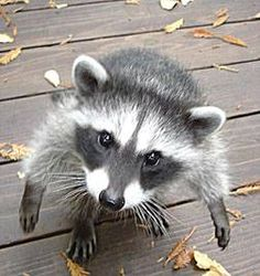 Im a cold little hungry raccoon can I come in?