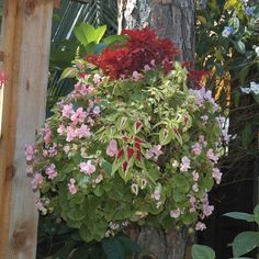 Check out these photos of Pamela Crawford's beautiful hanging baskets. Container Gardening Vegetables, Succulents In Containers, Container Flowers, Container Plants, Vegetable Gardening, Fall Planters, Garden Planters, Dwarf Japanese Maple, Raised Garden Beds