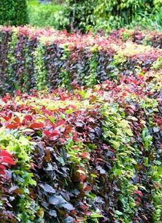 Fagus - Beech hedge, mixed varieties