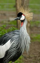 The Grey Crowned Crane or the Crested Crane (Balearica regulorum) is a bird in the crane family Gruidae. It occurs in dry savannah in Africa south of the Sahara, although it nests in somewhat wetter habitats. This animal does not migrate.    The Grey Crowned Crane is the national bird of Uganda and features in the country's flag and coat of arms.