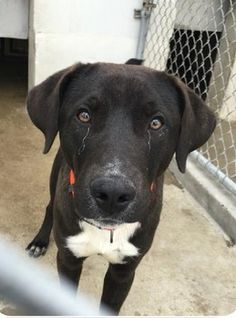 **URGENT! OUT OF TIME! FUREVER HOME, RESCUE OR FOSTER NEEDED!** Out of time - overlooked Labrador retriever mix appears to be crying