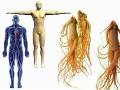 GINSENG HEALING – Medicinal properties and use Ginseng is an ancient plant in the human diet and treatment applies to more than 5000 years. Tips Belleza, Chinese Medicine, Facon, Body Parts, Human Body, Natural Remedies, Herbalism, Healthy Lifestyle, Healthy Living