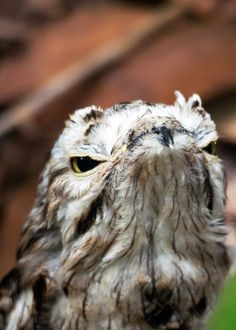 Aww, this potoo chick is (almost) adorable! Look at those big yellow eyes! Big Yellow, Yellow Eyes, Potoo Bird, Weird Birds, Nocturnal Birds, Bird Feathers, Pet Birds, Laughter, Medicine