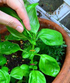 オレンジの部分のバジルの茎を摘芯剪定します。