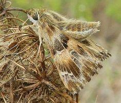 Carcharodus alceae (Esper, 1780) - le farfalle della Puglia
