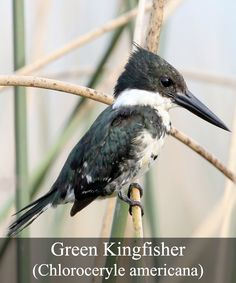 The smallest of the three different Kingfisher species found in the United States, the Green Kingfisher (Chloroceryle americana), is about 19 cm long and features the large beak and short tail which is typical of the species. It is widely spread from southern Texas through Central and South America to central Argentina. It is often easily spotted whilst perched on a branch of some sort and tends to favor habitats fed by a stream, lake or river as well as coastal areas.