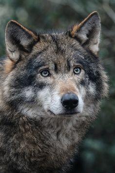 Wolf by Brita Rog