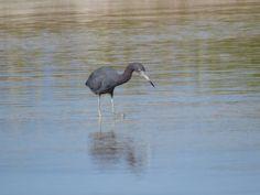 Bird Photos, Birding Sites, Bird Information: LITTLE BLUE HERON, TIGERTAIL BEACH, MARCO ISLAND, ...