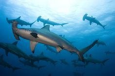 Hammerheads :: Saw a lot of these going fishing