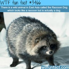 "Raccoon dog, a dog that look like a raccoon - WTF fun facts Plz don't buy fur products ppl, this is 1 of the poor animals used 2 trim the lining of jackets so u look more ""stylish""."