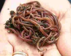 how worms can help you compost and make your own fertilizer. Farm Websites, Organic Gardening, Gardening Tips, Red Wigglers, Growing Power, Worm Farm, Worm Composting, Hydroponics System, Small Space Gardening