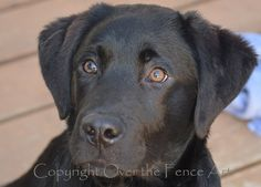 Black Labrador Puppy Fine Art Photo Note Card by overthefenceart