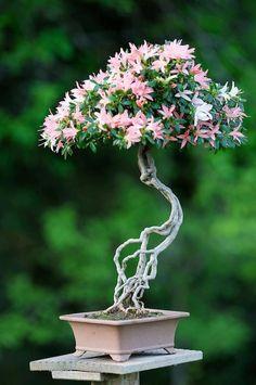 Blooming bonsai tree.