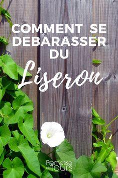 Comment éliminer le liseron au jardin, naturellement et sans désherbant ? Suivez nos conseils !